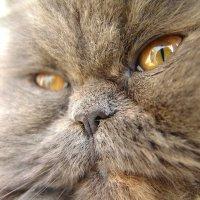 Голубая кошка. :: Оля Богданович