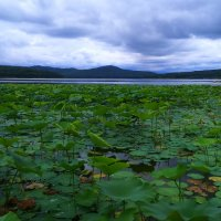Озеро лотосов. (Пока листья) :: Татьяна ❧