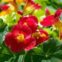 Роскошь цветения капуцинов :: Андрей Заломленков