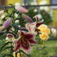 цветок лилии :: Элен Шендо