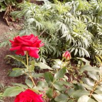 Роза :: Виктор Крафт