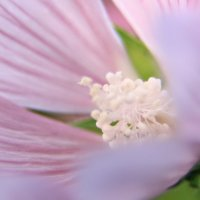 Розовый дым :: Elena Belova (e.lova)