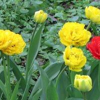 Махровые тюльпаны :: Наталья (Nattina) ...