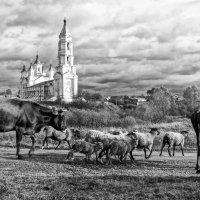 Шли коровы ко дворам своим.. :: Александр Архипкин