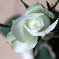 роза :: Olga