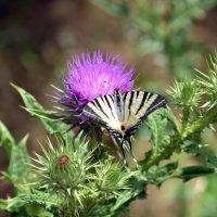 Бабочка с удивительным именем Парусник подалирий :: Ольга Голубева