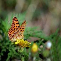 Butterfly. :: Светлана Ивановна Медведева