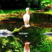 Пеликан и его отражение :: Nina Yudicheva