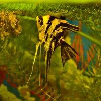 Скалярия - рыбка аквариума :: galina tihonova