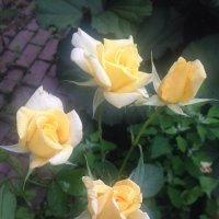 Роза :: Светлана Ященко
