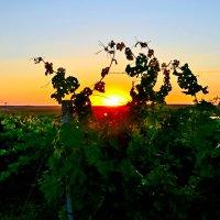 Закат в виноградниках :: Виктор Шандыбин