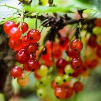 Красна ягода :: Ольга Рощектаева