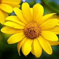 Жёлтая ромашка :: Артём Пахомов