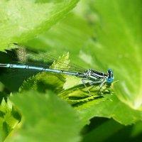Ах, эти синие глаза! :: Swetlana V