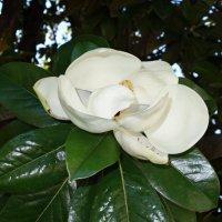 Магнолии   прекрасные   цветы... :: Galina Dzubina
