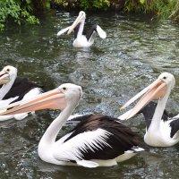 Австралийские очковые пеликаны. :: Вадим Синюхин