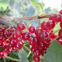 Грозди вишневой смородины. :: Valentina
