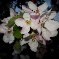 Аромат яблони :: Надежда Климова