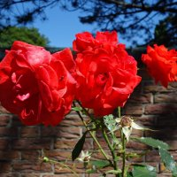 """""""...Источают розы, в дивном цвете, Аромат божественный в саду..."""" :: Galina Dzubina"""