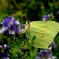 бабочка :: Анастасия