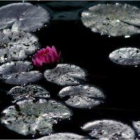 Про лилию,красную. :: Eino Pessi