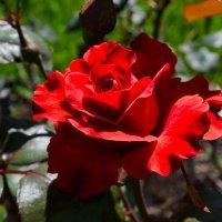 Гламурная красная роза :: Милешкин Владимир Алексеевич
