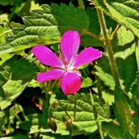 Почти аленький цветочек среди крапивы :: Фотогруппа Весна.