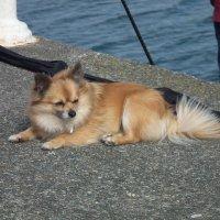 Рыжая собачка :: Natalia Harries