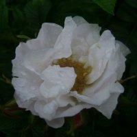 Акварельная роза Аландского архипелага :: Марина Домосилецкая
