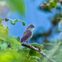 Камышевка в кустах малины :: Оксана Арискина