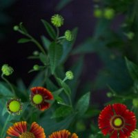 летние цветы 2 :: Дмитрий Барабанщиков