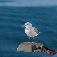Иностранная чайка - Инга из Швеция :: Евгений Никифоров