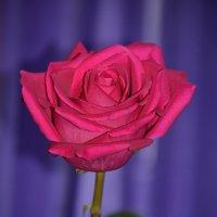 Розовые розы Светке Соколовой...... :: Tatyana Nemchinova