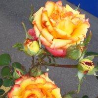 Желтоокие Розы. :: Марина Харченкова