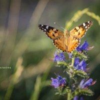 Бабочка :: nataliya korchma