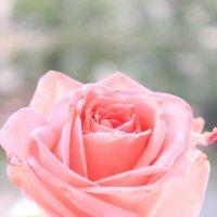 одинокая роза :: Алёна Скрипник