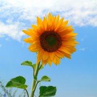 Солнечный цветок :: Андрей Заломленков