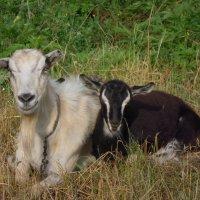 Коза и козленок... :: Андрей Балабуха