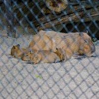 За решёткой в зоопарке :: Света Кондрашова