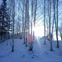 рассвет в зимней березовой роще :: Нина Килина