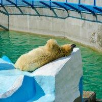 Мишка спит и он устал, в Новосибирском зоопарке :: Света Кондрашова