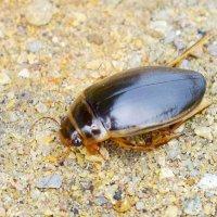 Плавунец (лат. Dytiscidae) :: A. SMIRNOV