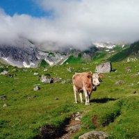 о горных коровах :: Elena Wymann