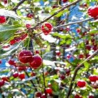 опутанная вишня :: Олеся Ханина
