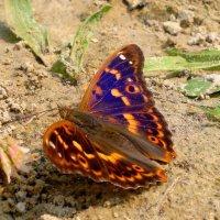 крылья- как бархат; под углом- синева, прямо-коричневые :: Александр Прокудин
