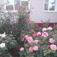 Розы в полесаднике... :: марина ковшова