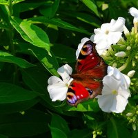Бабочка и цветы :: Милешкин Владимир Алексеевич