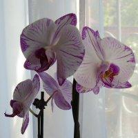 Орхидеи :: татьяна