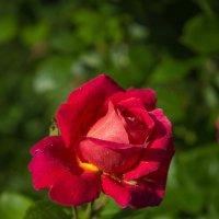Красная прекрасная... :: Андрей Нибылица