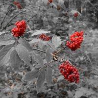 Волчья ягода :: Сергей Щеглов
